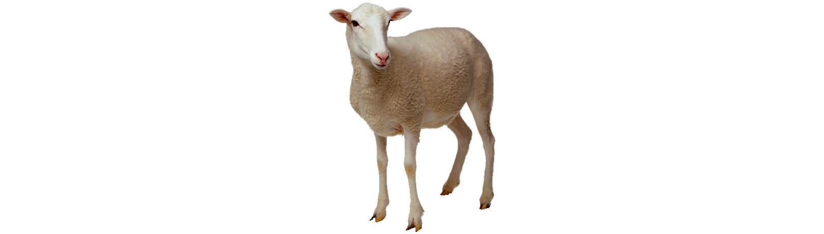 Manufacturer of Products for Sheep